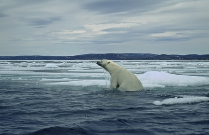 Polar bear climbing from swimming in the sea onto ice floe