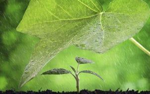 Protection contre la pluie d'une grande feuille sur une petite